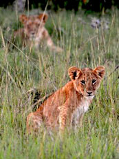 Kenya_Encounter-Mara_Cub_web.jpg