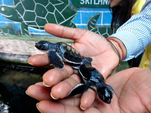 Sri-Lanka_IDEX_Colombo_turtle_wildlife_conservation_web.jpg