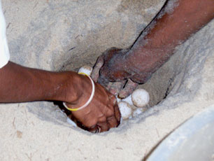 India_Goa_Turtle-Eggs_web.jpg