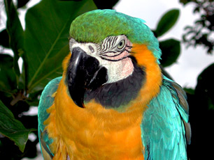 Brazil - Macaw Parrot