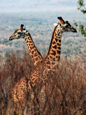 Africa_Giraffes-Crossed_web.jpg
